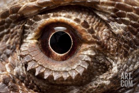 Paul Souders Eye of an Inland Bearded Dragon